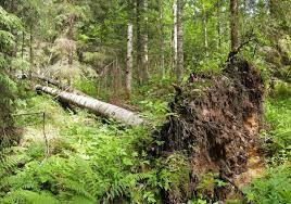 A tree, fallen in the woods